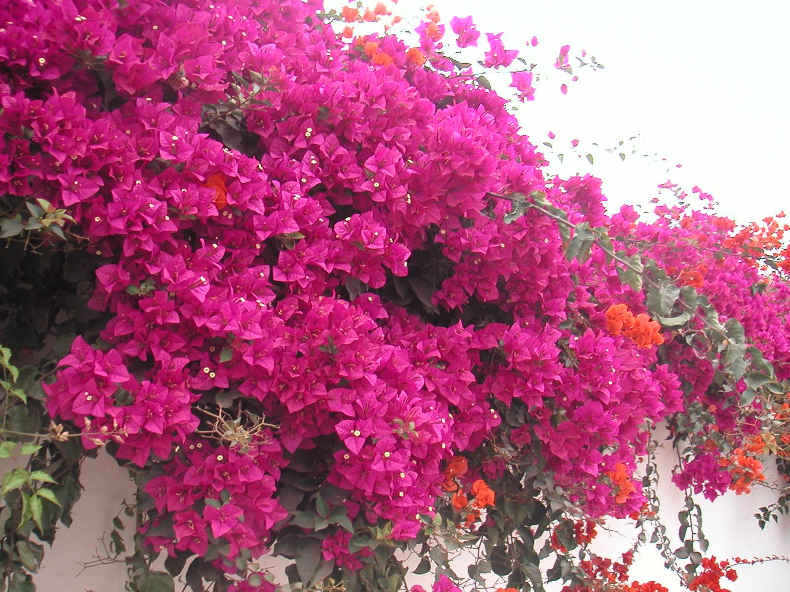 Quando Potare Il Bouganville sira - toscana: conoscenza ambientale in toscana